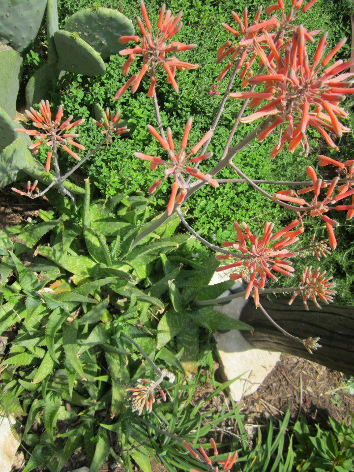 Super drought tolerant plants for central texas lisa 39 s for Low maintenance partial sun plants