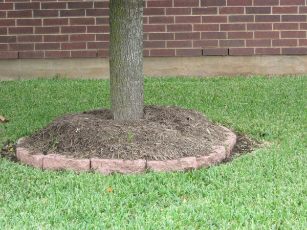 "Badly mulched tree, this should have a well around the tree with tree ""Flair"" or bell shape visible in the center of the berm. Your tree should never look like a stick coming out of the pile."