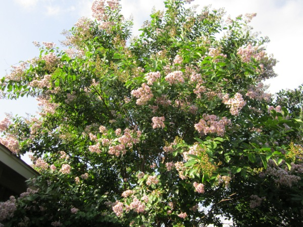 Muskogee Crepe Myrtle is one of the largest varieties of Crepes reaching heights of 30'!