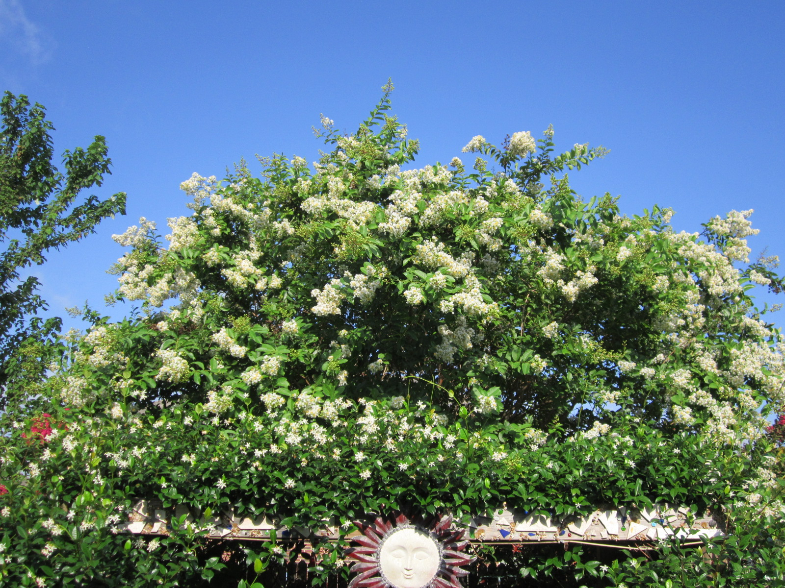 Crepe myrtles flowering xeriscape trees for the tx landscape many crepes are fragrant and the flowers fall leaving a blanket of color on the ground mightylinksfo