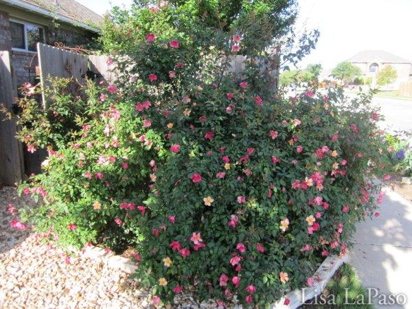 Mutabilis Rose