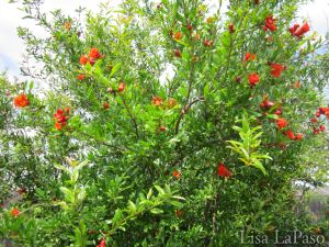 """Wonderful"" Pomegranate, beautiful color in Spring followed by huge fruit in the Fall. Low water, low to no maintenance."