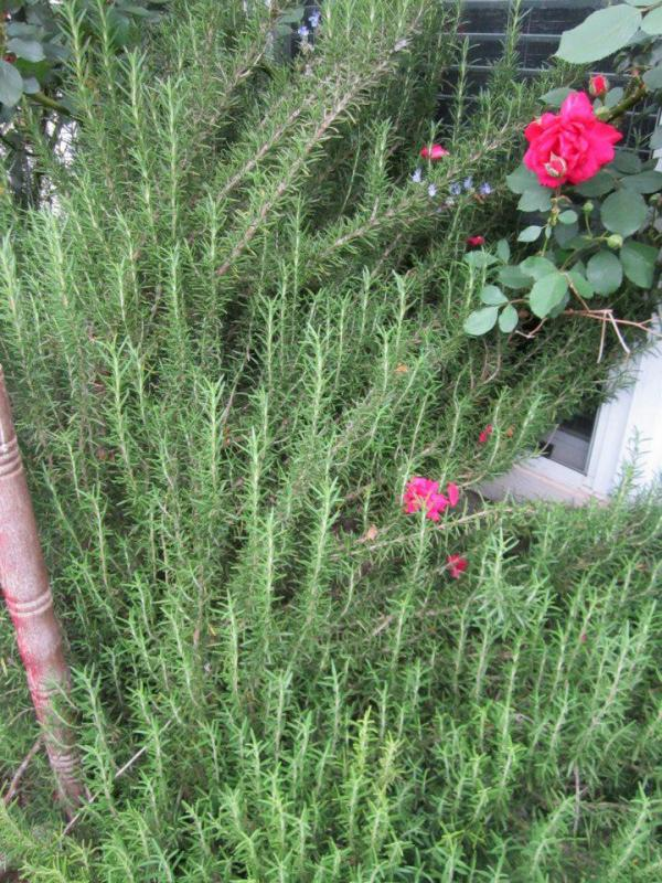 deer resistant plants for austin and central texas lisa