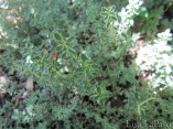 Silver thyme can also be used as a ground cover.