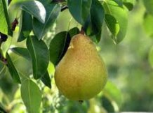 Kieffer Pear, excellent crisp pear that does not require a mate.