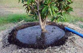 Here is the purpose of a mulch berm. Once the tree is mature its roots are all over and no longer need a berm, but instead need a ring of mulch/compost to provide a sod-free space for your tree to take in water and nutrients without the competition.