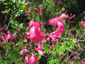 Pink Salvia is the most common, bright pink and a great hummingbird and butterfly attraction.