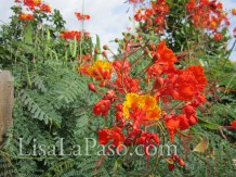 Pride of Barbados-super drought tolerant. Full sun.