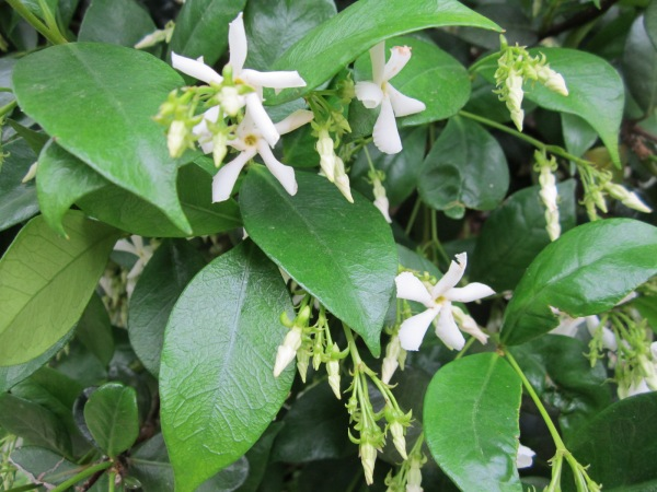 Incredibly fragrant, evergreen and beautiful.