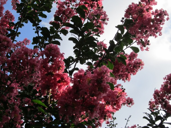 Crepe Myrtles are beautiful with  color all summer long and provide colorful leaves in the fall.