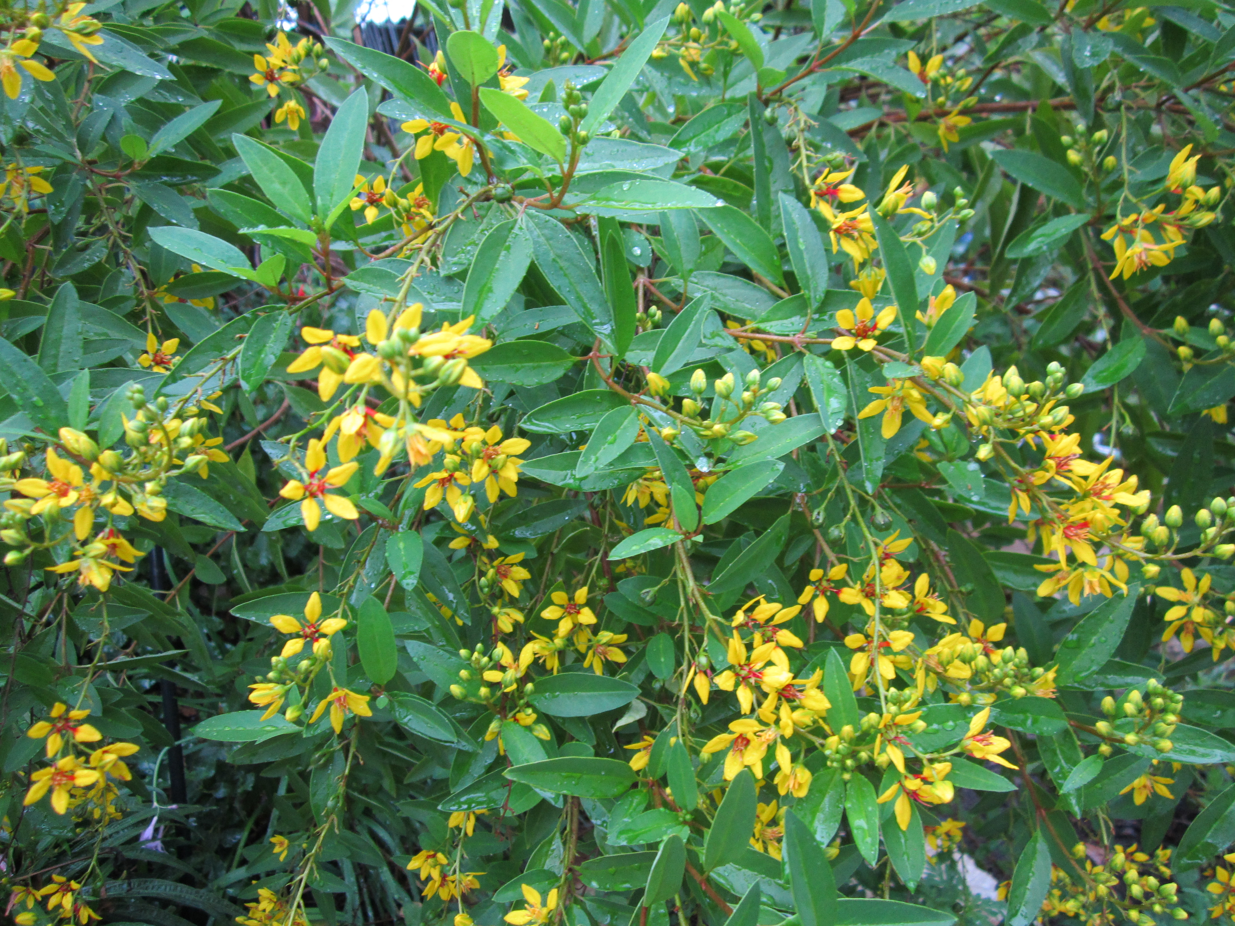 Yellow Plants For Central Texas Gardening Lisas Landscape Design