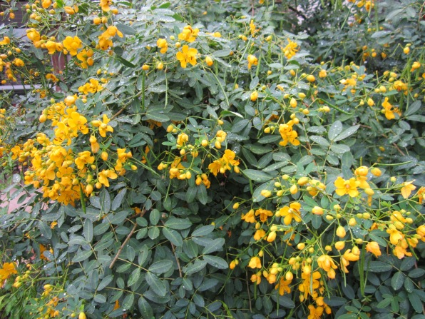 Texas flowery Senna tree