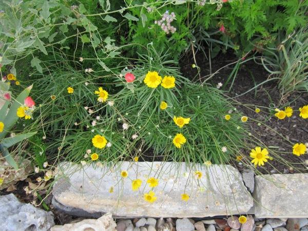 4 nerve daisy