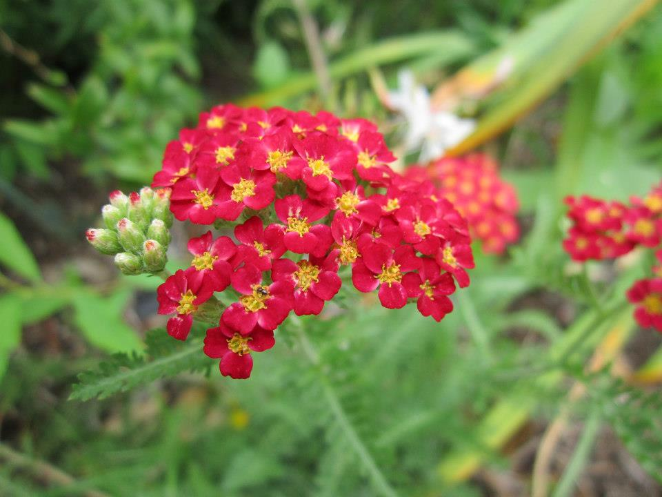 Super drought tolerant plants for central texas lisas landscape paprika yarrow is an excellent plant for central texas evergreen colorful and medicinal mightylinksfo