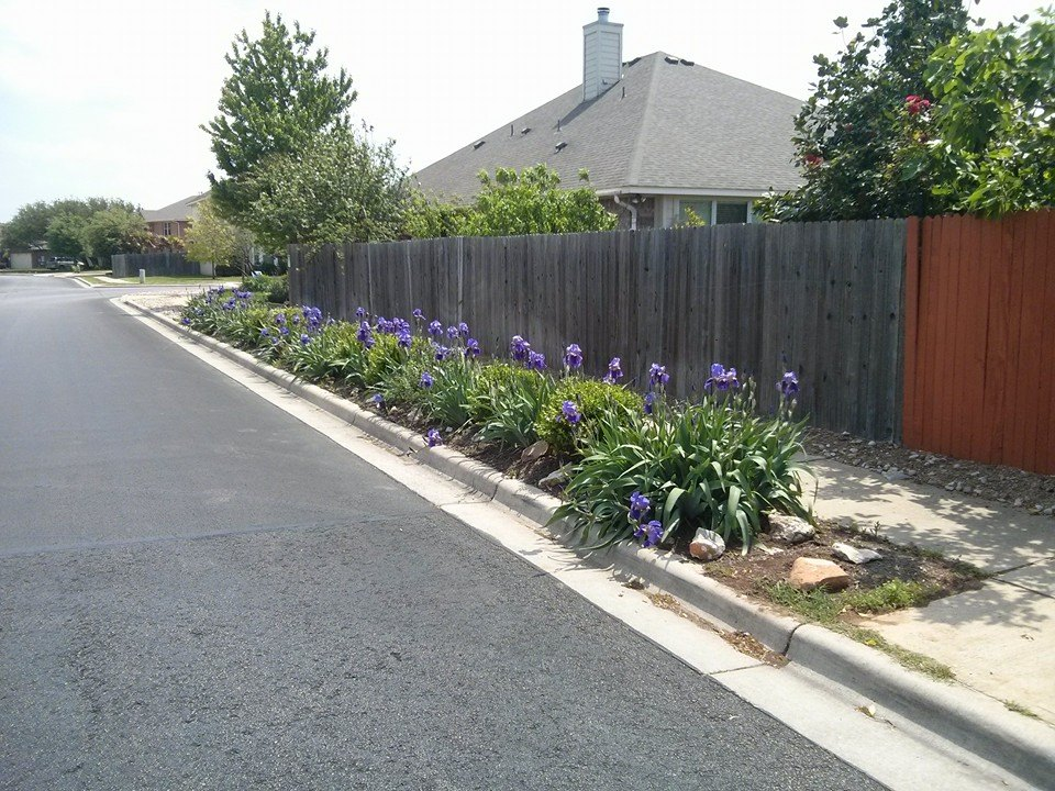 Iris in Central Texas! | Lisau0026#39;s Landscape u0026 Design