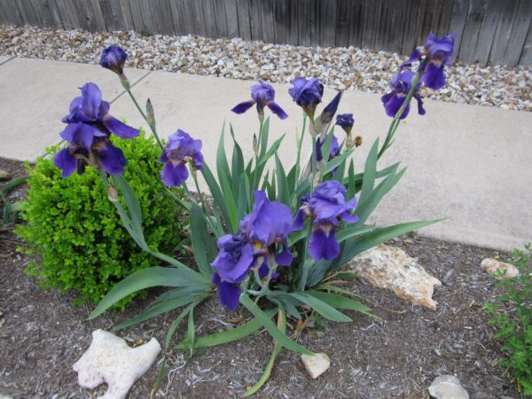 iris7