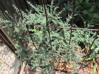 Cotoneaster, lisa lapaso