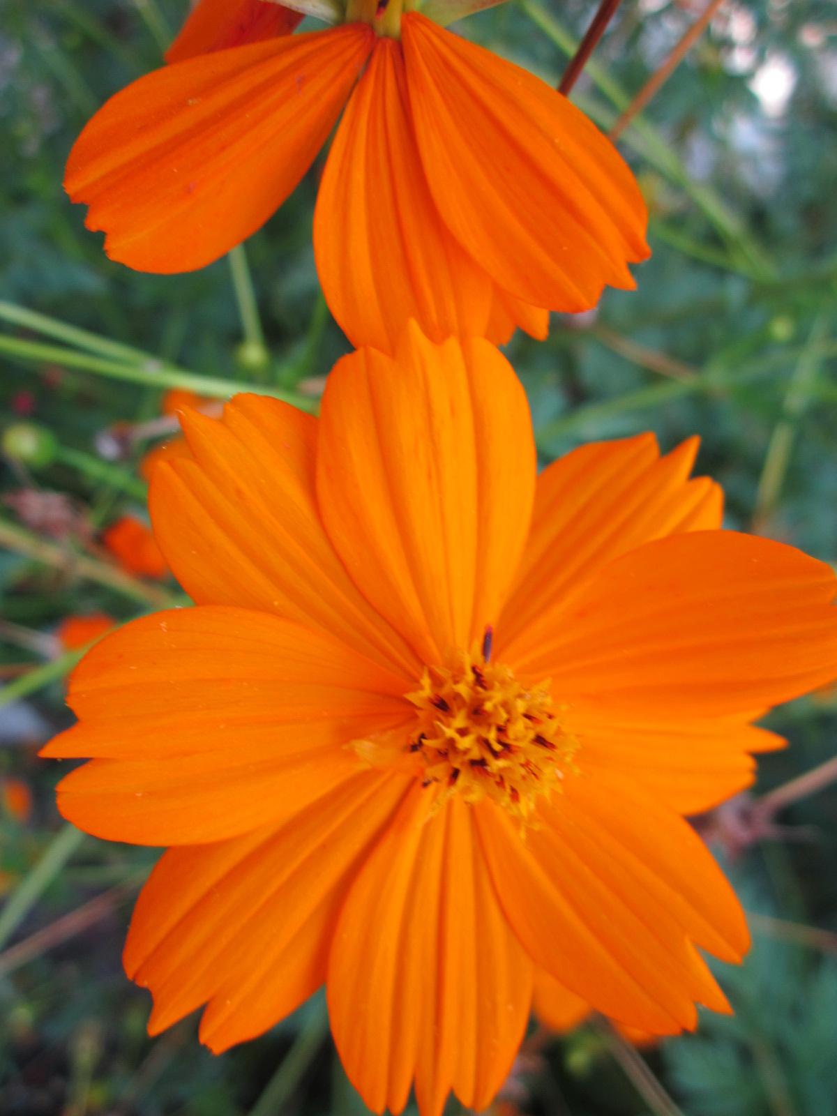 Orange Flowers For The Texas Landscape Lisas Landscape Design