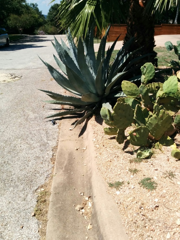 Agave are swords dressed up as plants.