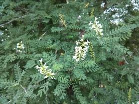 Kidney Wood Tree