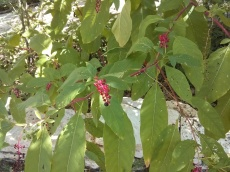 Pokeweed, Lisa LaPaso