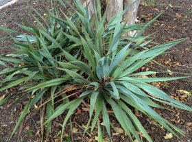Twist Leaf Yucca, lisa lapaso