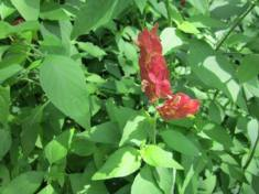 Shrimp Plant, Lisa LaPaso